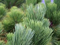 needle-evergreen